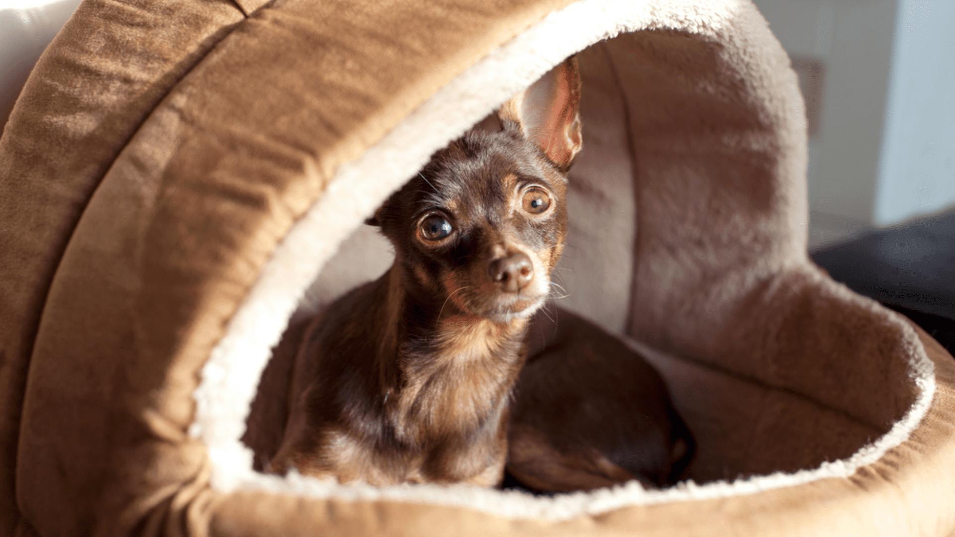 A cama iglu ou cabaninha é a melhor opção para cachorros que moram em regiões frias (Reprodução/Shutterstock)