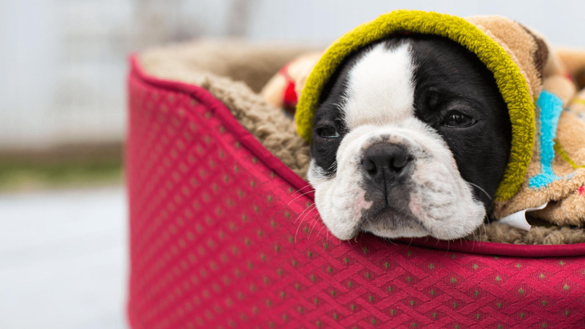 Camas de pelúcia são aconselhadas a cachorros que vivem em locais mais frios (Reprodução/Shutterstock)