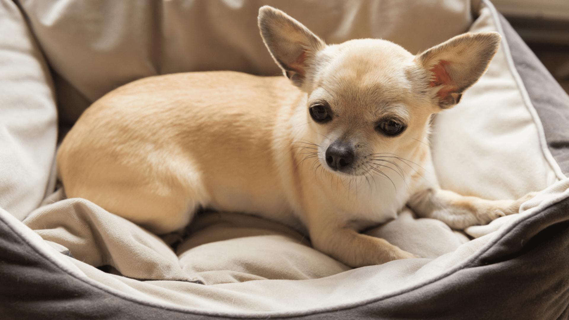 Tanto filhotes quanto cachorros idosos devem usar camas mais baixas (Reprodução/Shutterstock)