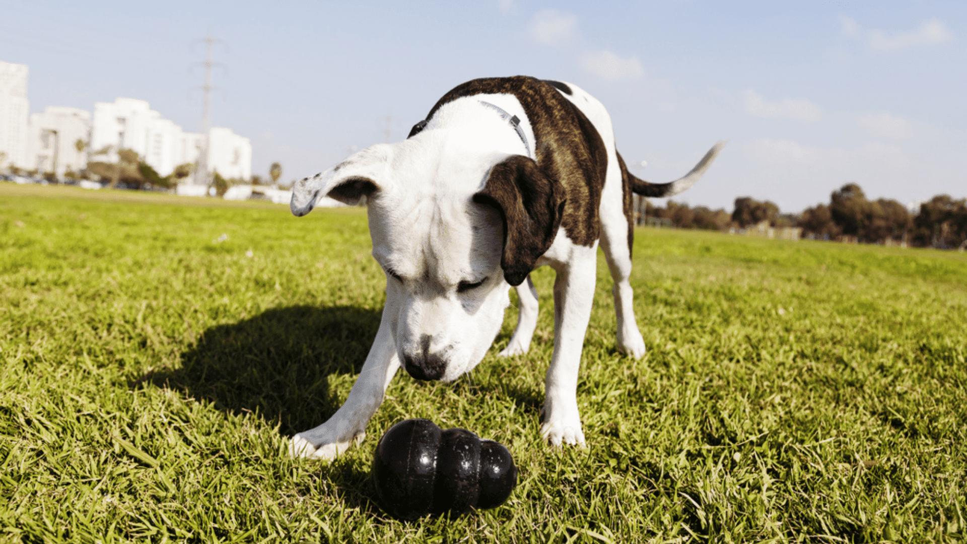 O brinquedo de esconder petiscos estimula a inteligência do cão (Reprodução/Shutterstock)