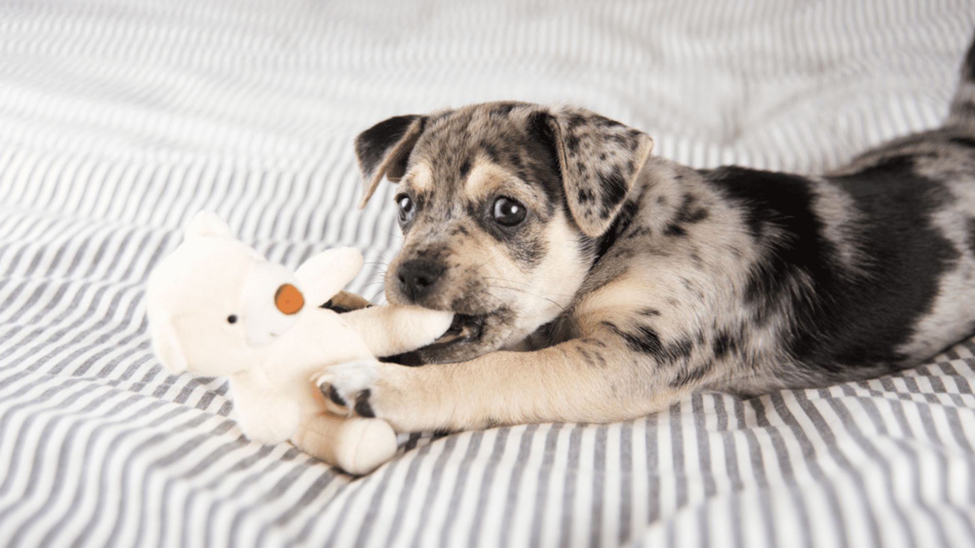 O bicho de pelúcia para cachorro pode funcionar como um companheiro para o pet (Reprodução/Shutterstock)