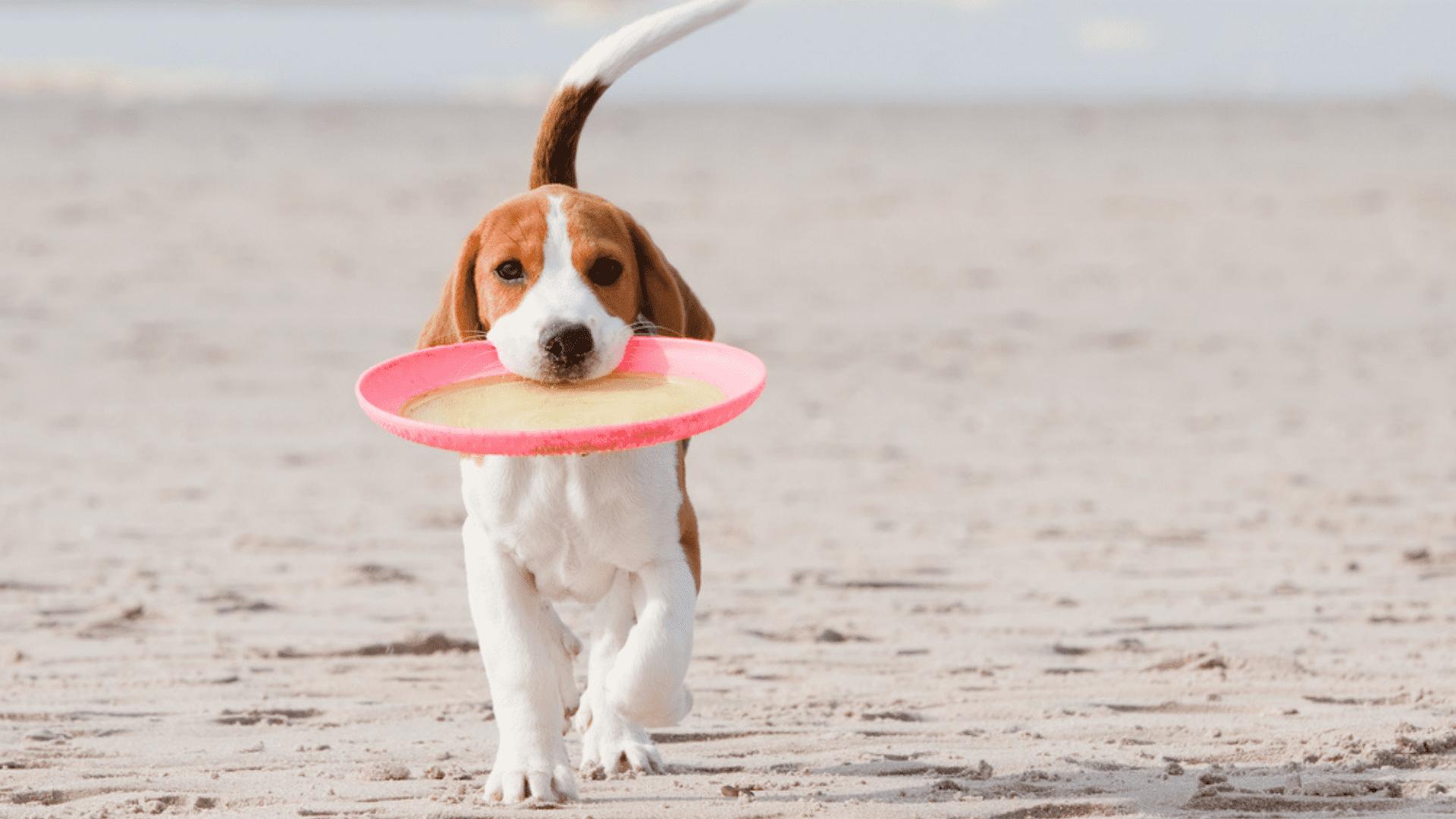 O frisbee para cachorro é um ótimo brinquedo para incentivar o cão a correr e saltar (Reprodução/Shutterstock)