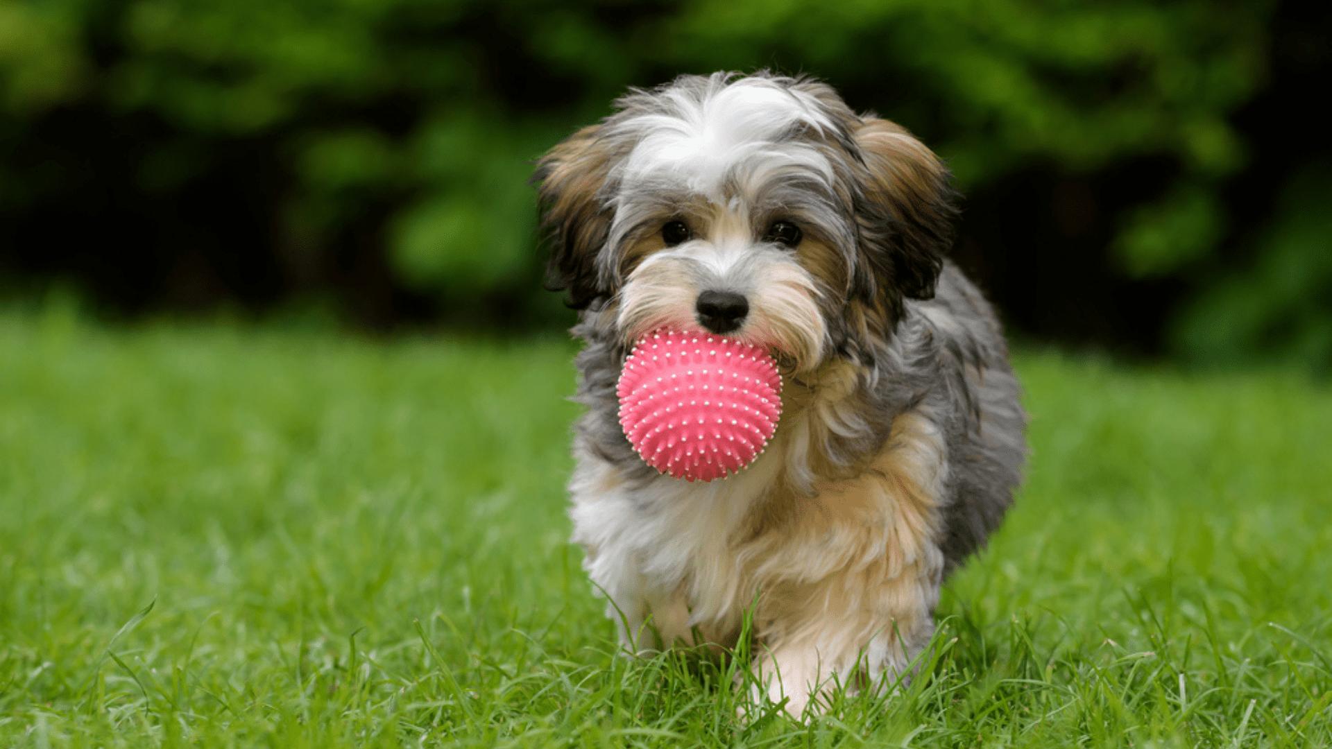 Veja a nossa lista com os melhores brinquedos para filhote de cachorro! (Reprodução/Shutterstock)