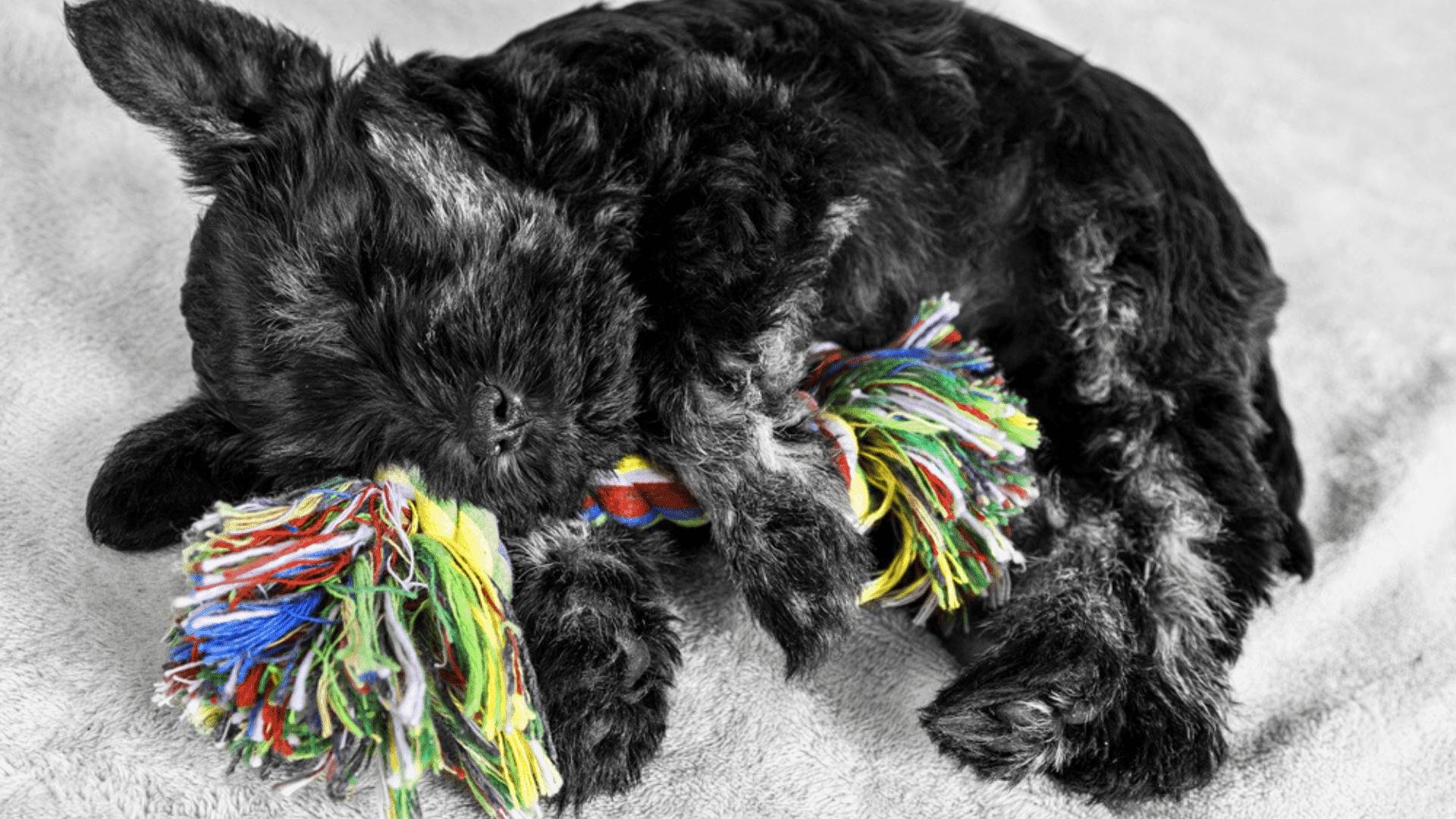 A corda para cachorro é um tipo de mordedor ainda mais resistente (Reprodução/Shutterstock)