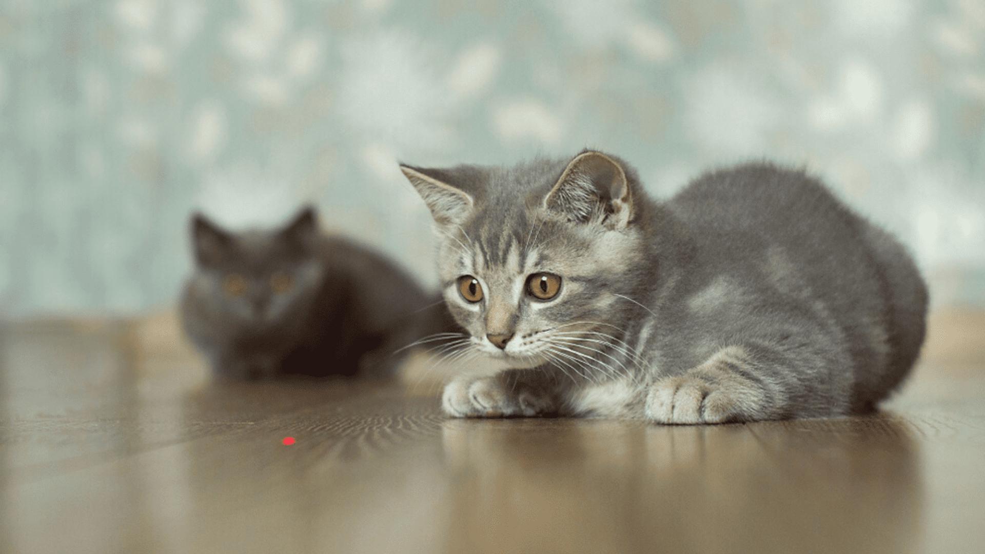 O laser precisa ser próprio para gato para não prejudicar a saúde do felino (Reprodução/Shutterstock)