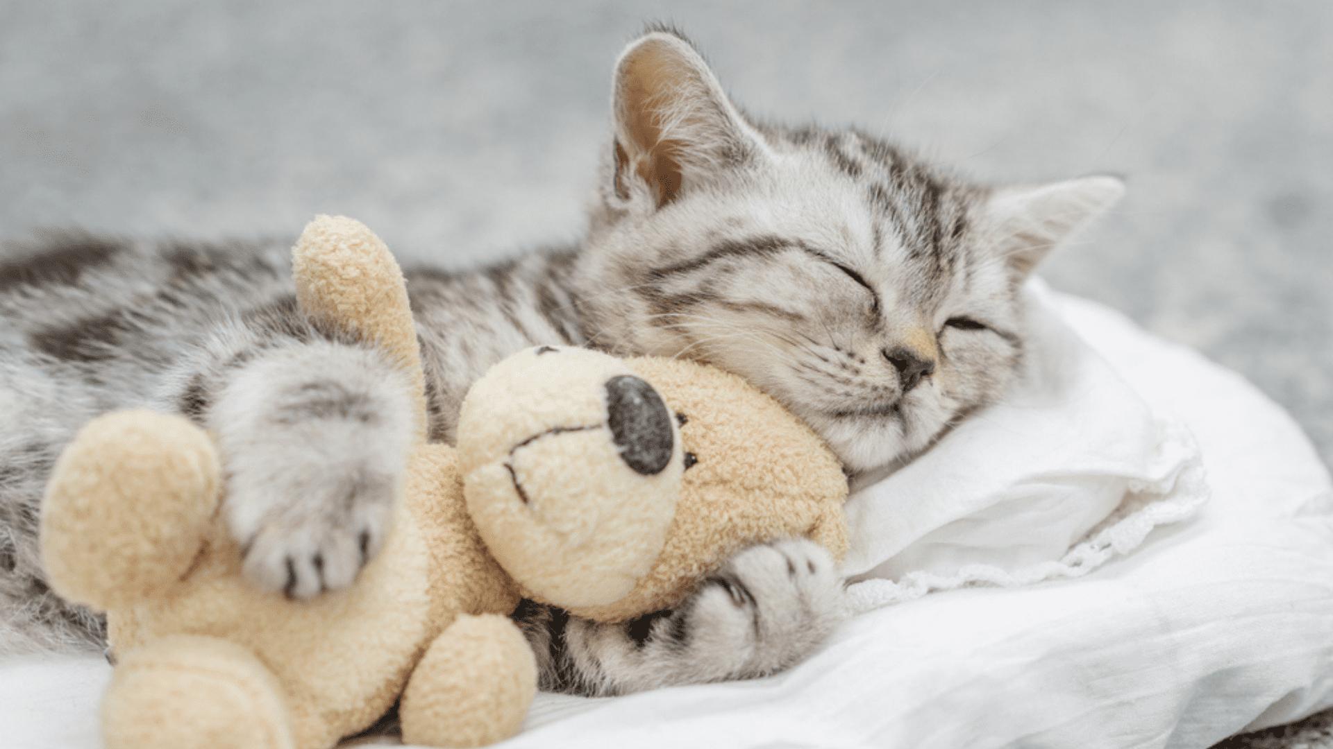 A pelúcia é ótima para aliviar o estresse do gato, mas precisa ser lavada com frequência (Reprodução/Shutterstock)