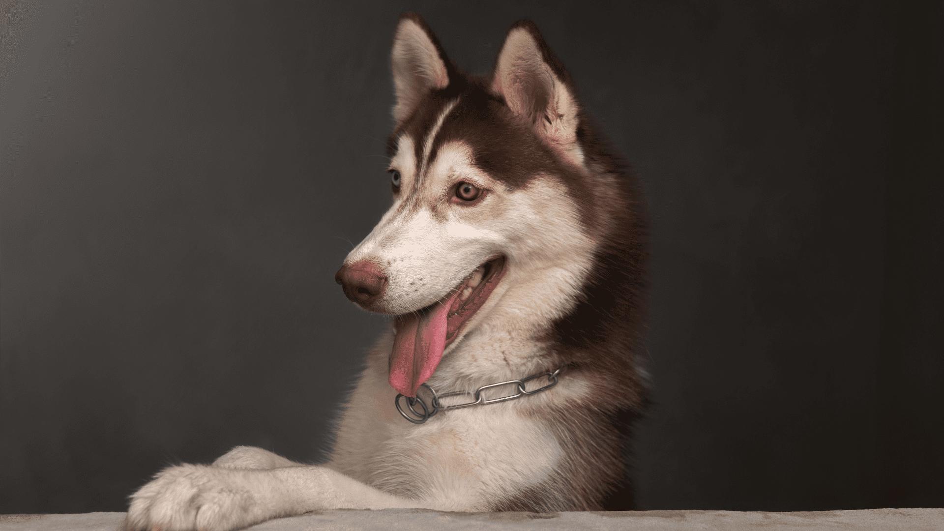 A coleira enforcador precisa de mais atenção do tutor, pois pode machucar o cachorro (Reprodução/Shutterstock)
