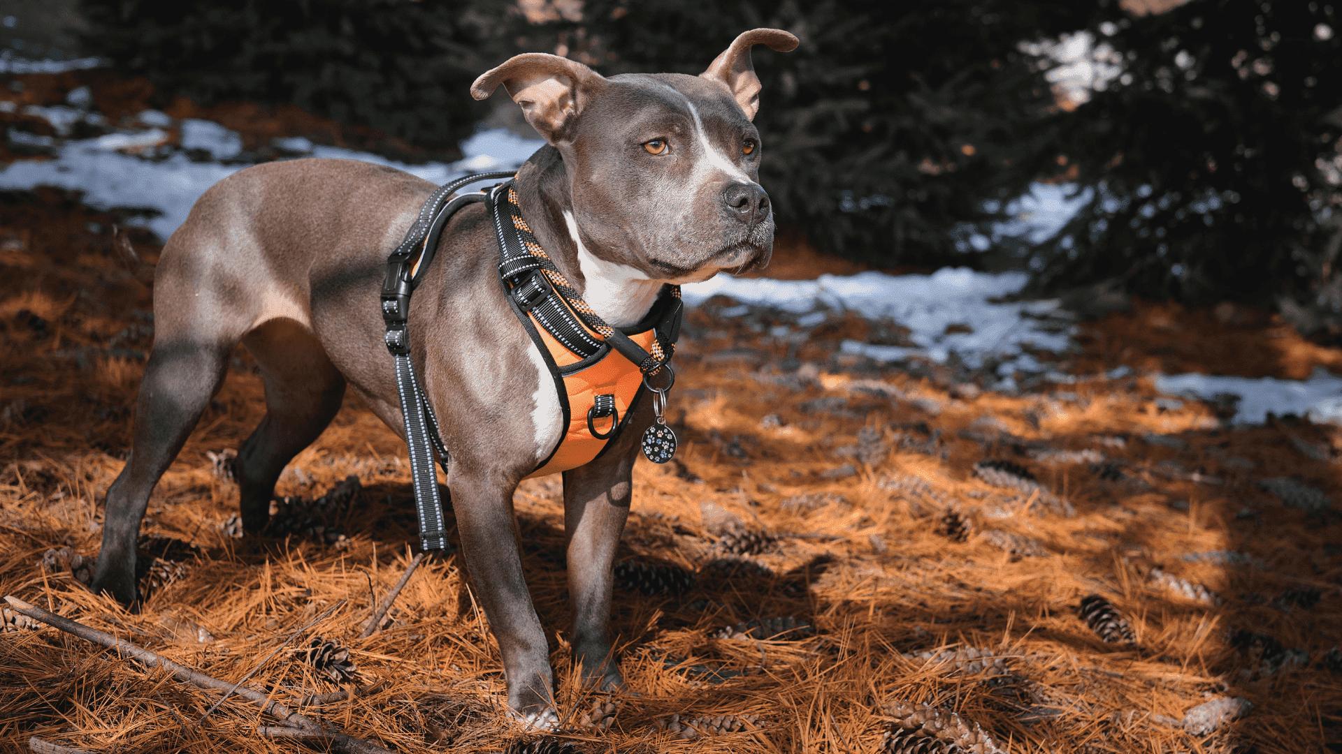 A coleira anti-puxão ou easy-walk se diferencia da coleira peitoral por apresentar o gancho da guia na parte da frente do cachorro (Reprodução/Shutterstock)