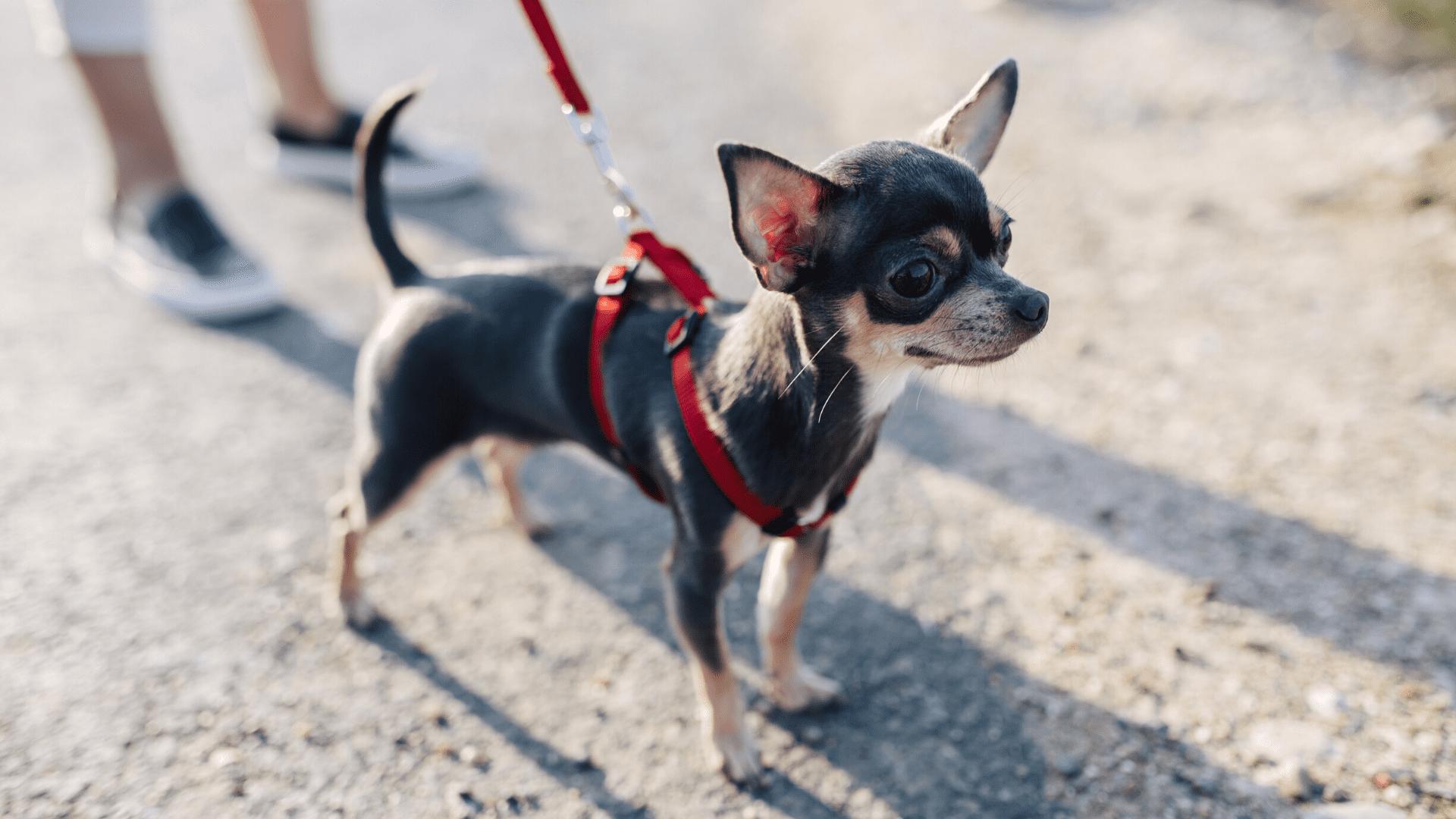 A coleira peitoral é a queridinha de todos, pois serve tanto para cachorros grandes quanto para cachorros pequenos (Reprodução/Shutterstock)