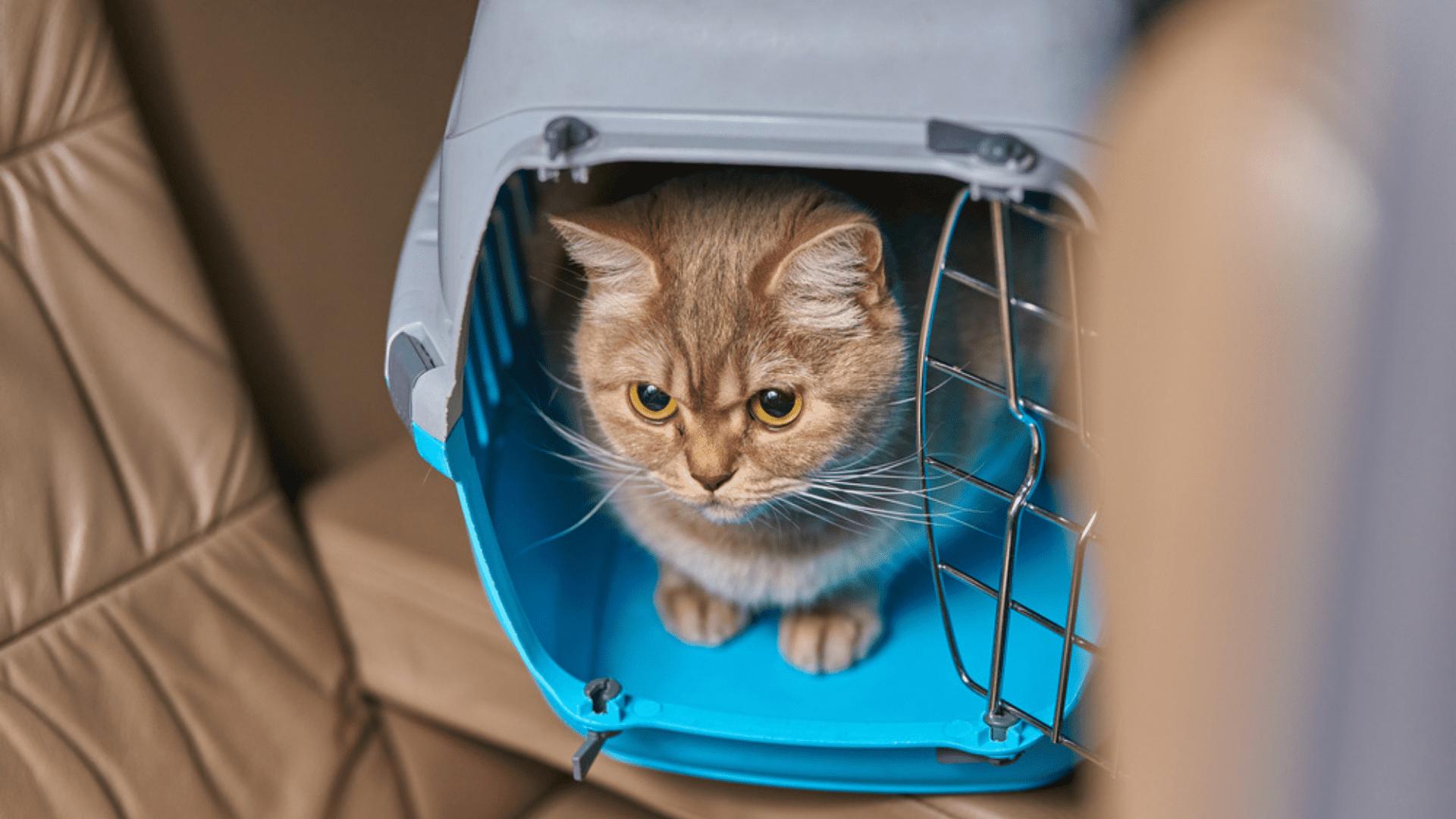 A caixa de transporte para gato deve ser confortável para que o pet consiga se movimentar (Reprodução/Shutterstock)