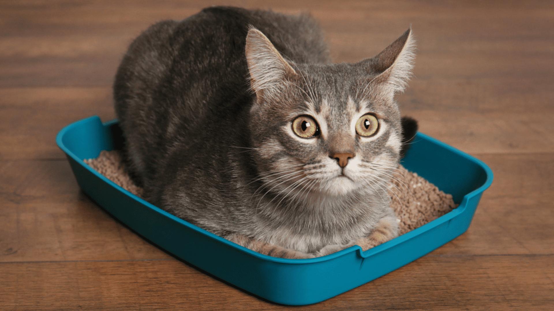 A caixa de areia e o granulado sanitário para gato precisam ser limpos com uma certa frequência (Reprodução/Shutterstock)
