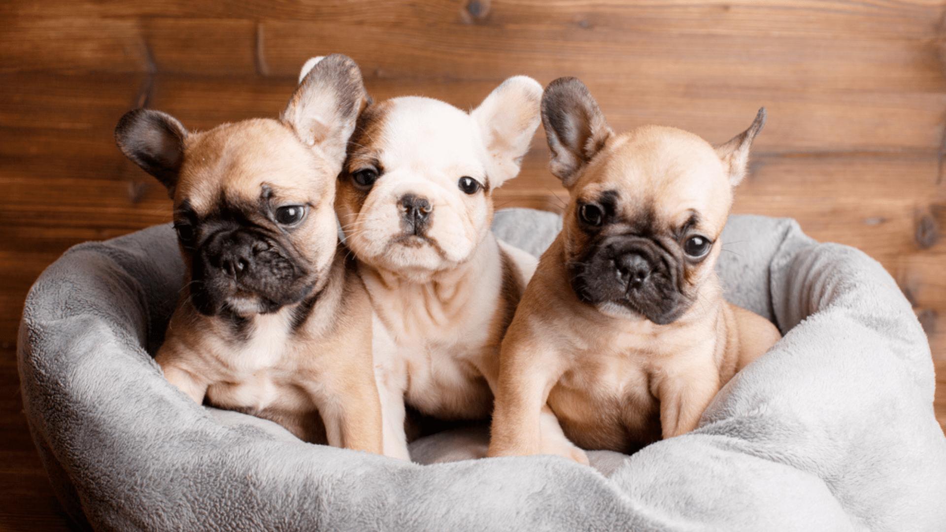A caminha para cachorro é fundamental e existe em diferentes modelos no mercado (Reprodução/Shutterstock)