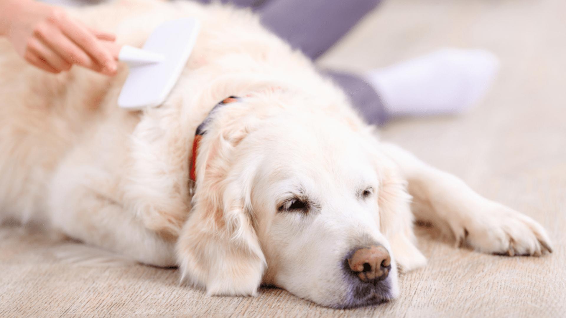 A escova para cachorro varia conforme a quantidade de pelos do cão (Reprodução/Shutterstock)