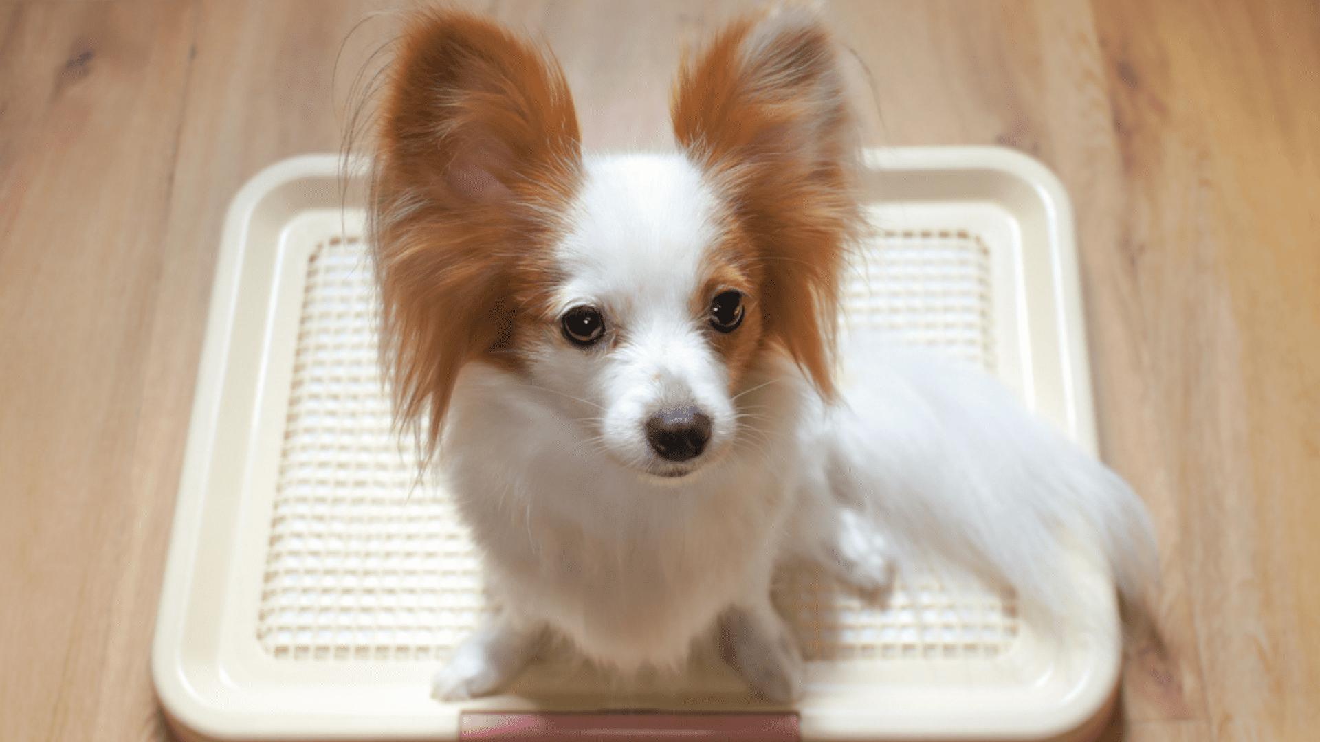 O tapete higiênico pode ser encontrado no mercado em dois modelos básicos: lavável ou descartável (Reprodução/Shutterstock)