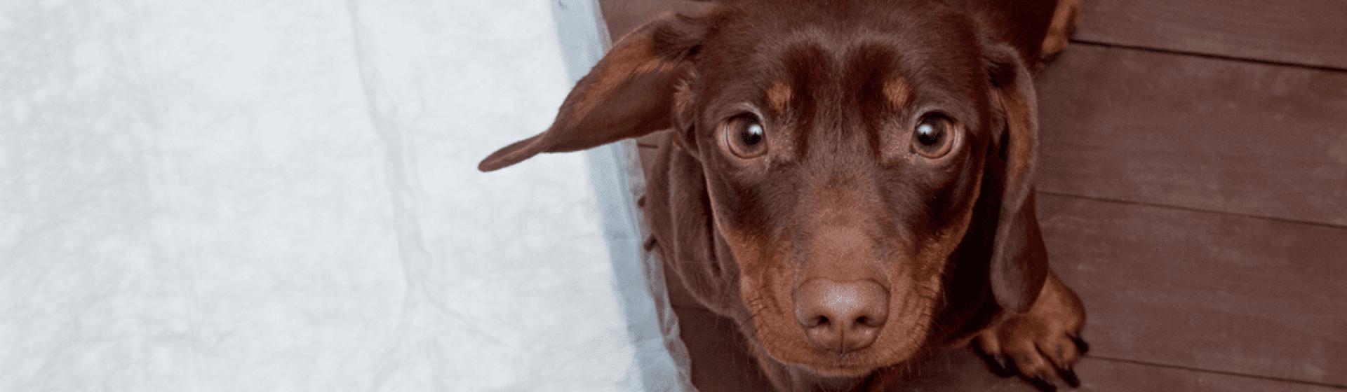 Tapete higiênico para cachorro: vale a pena comprar?