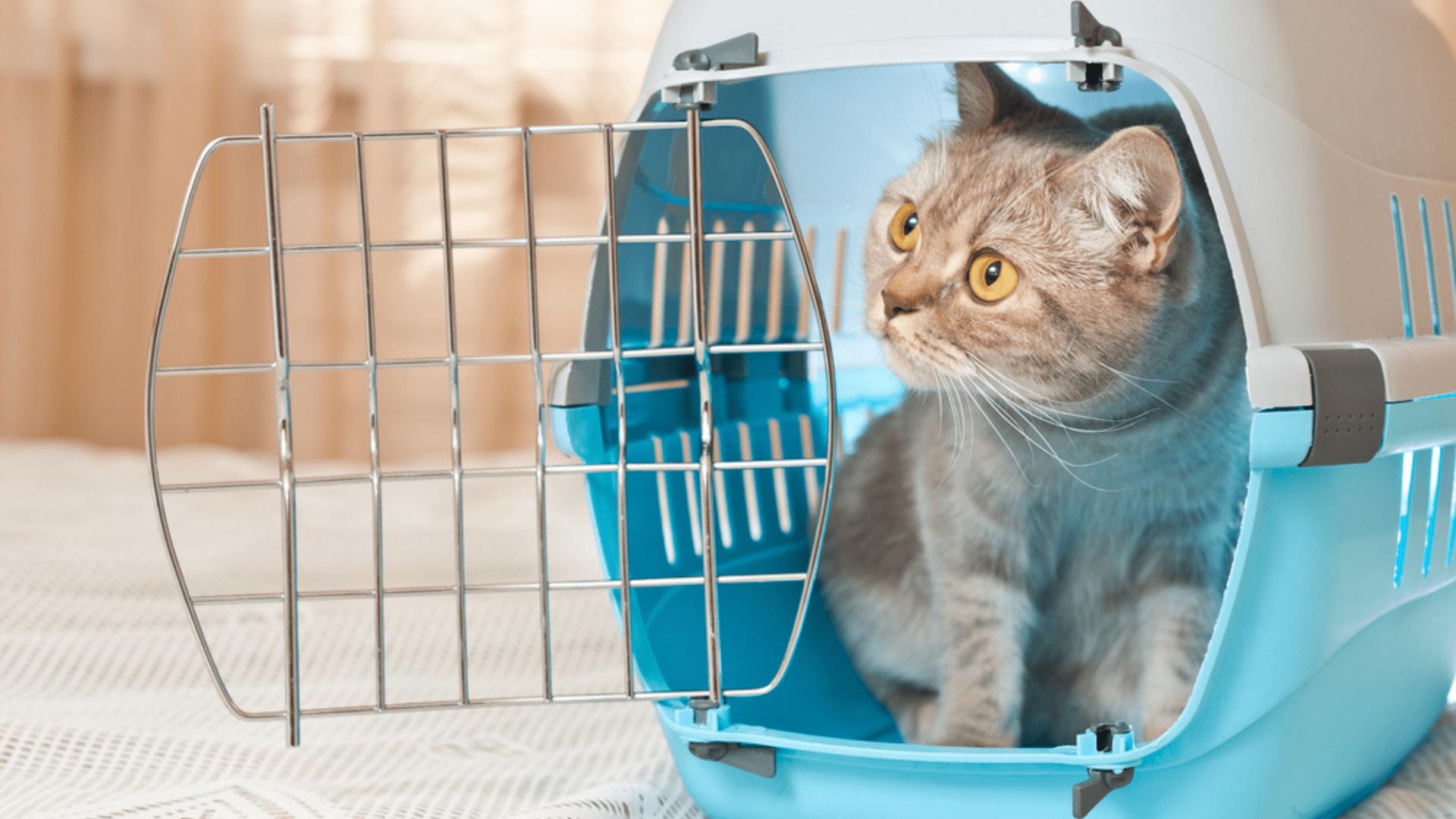Lembre-se de que o gato precisa se acostumar a viajar na caixa de transporte (Reprodução/Shutterstock)