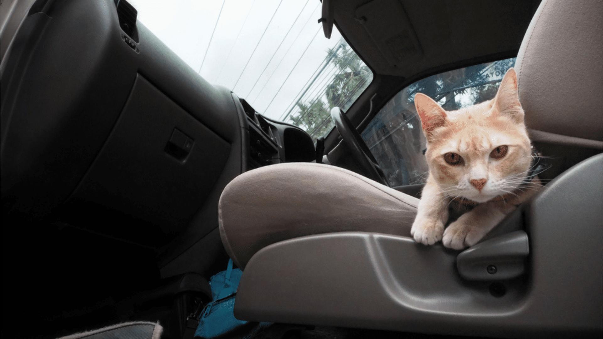 Aprenda tudo sobre viagem de carro com gato! (Reprodução/Shutterstock)