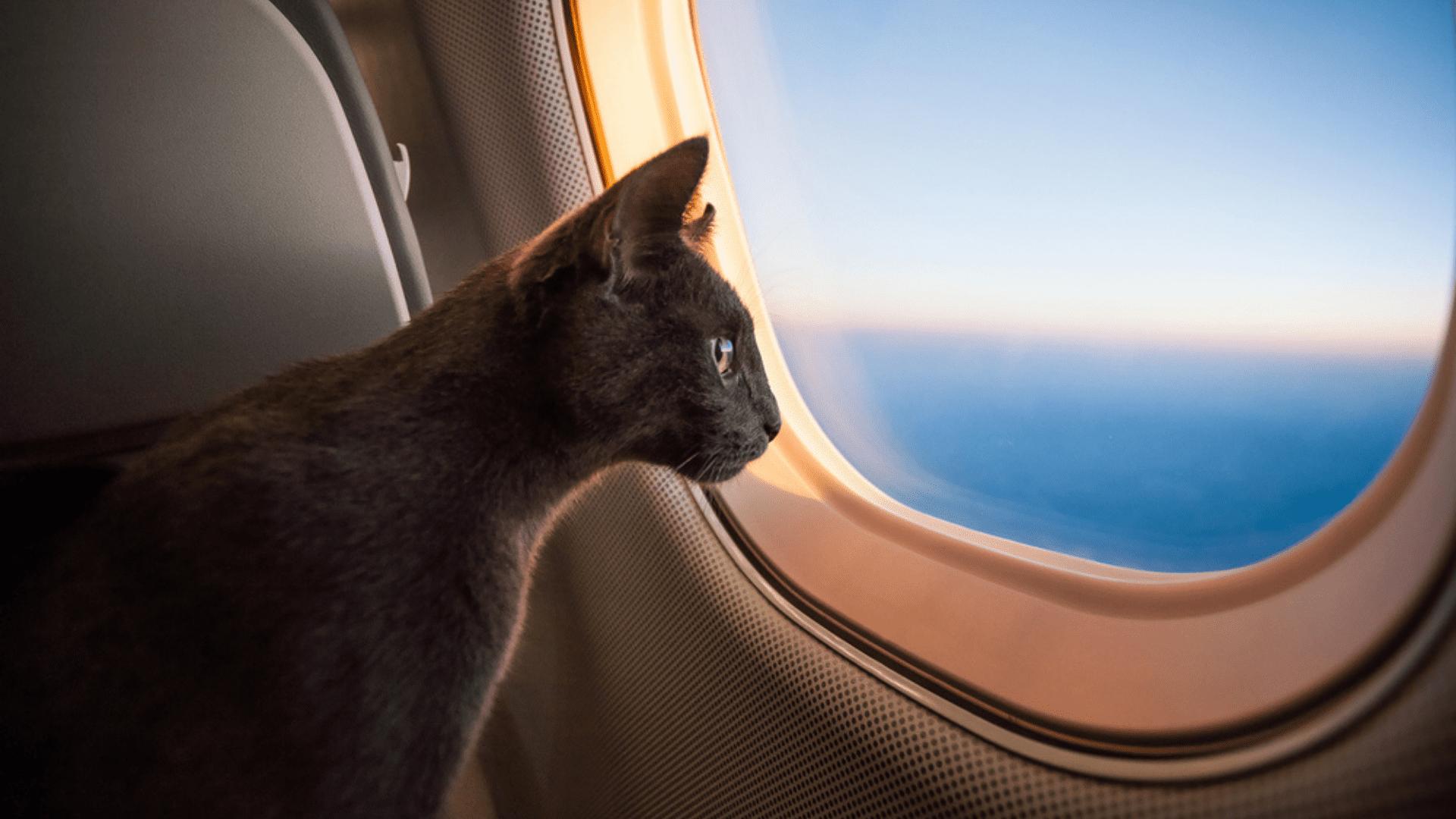 Veja algumas dicas sobre viajar com gato de avião! (Reprodução/Shutterstock)