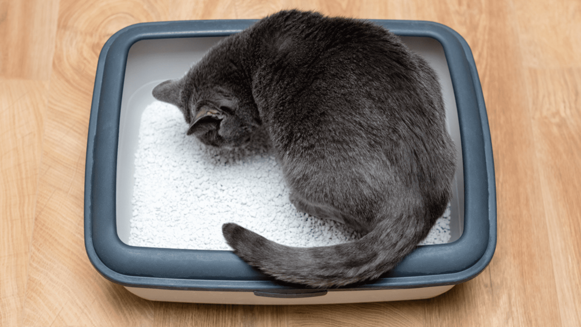 A areia para gato absorvente é mais duradoura e absorve mais a urina (Imagem: Reprodução/Shutterstock)