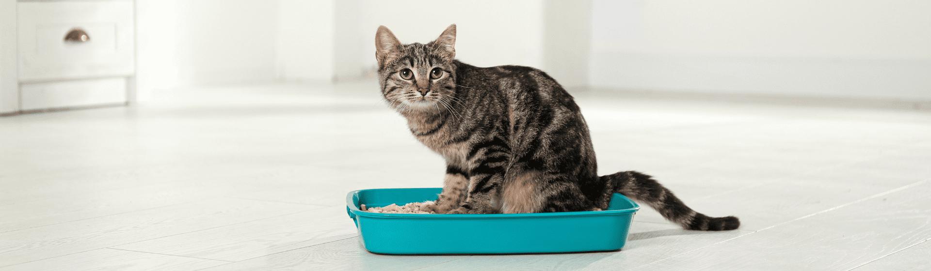 Areia para gato: qual é a melhor opção?