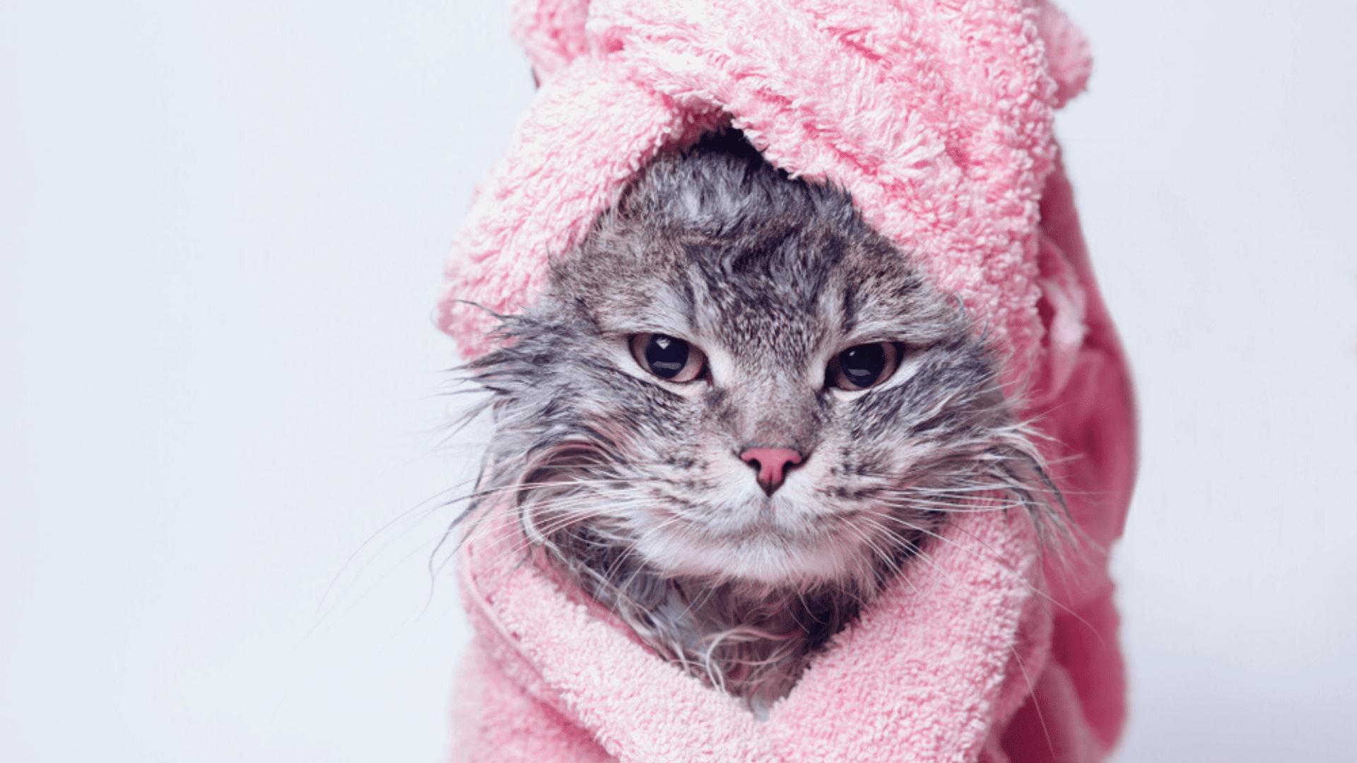 Veja os melhores shampoos para o seu gato! (Imagem: Reprodução/Shutterstock)
