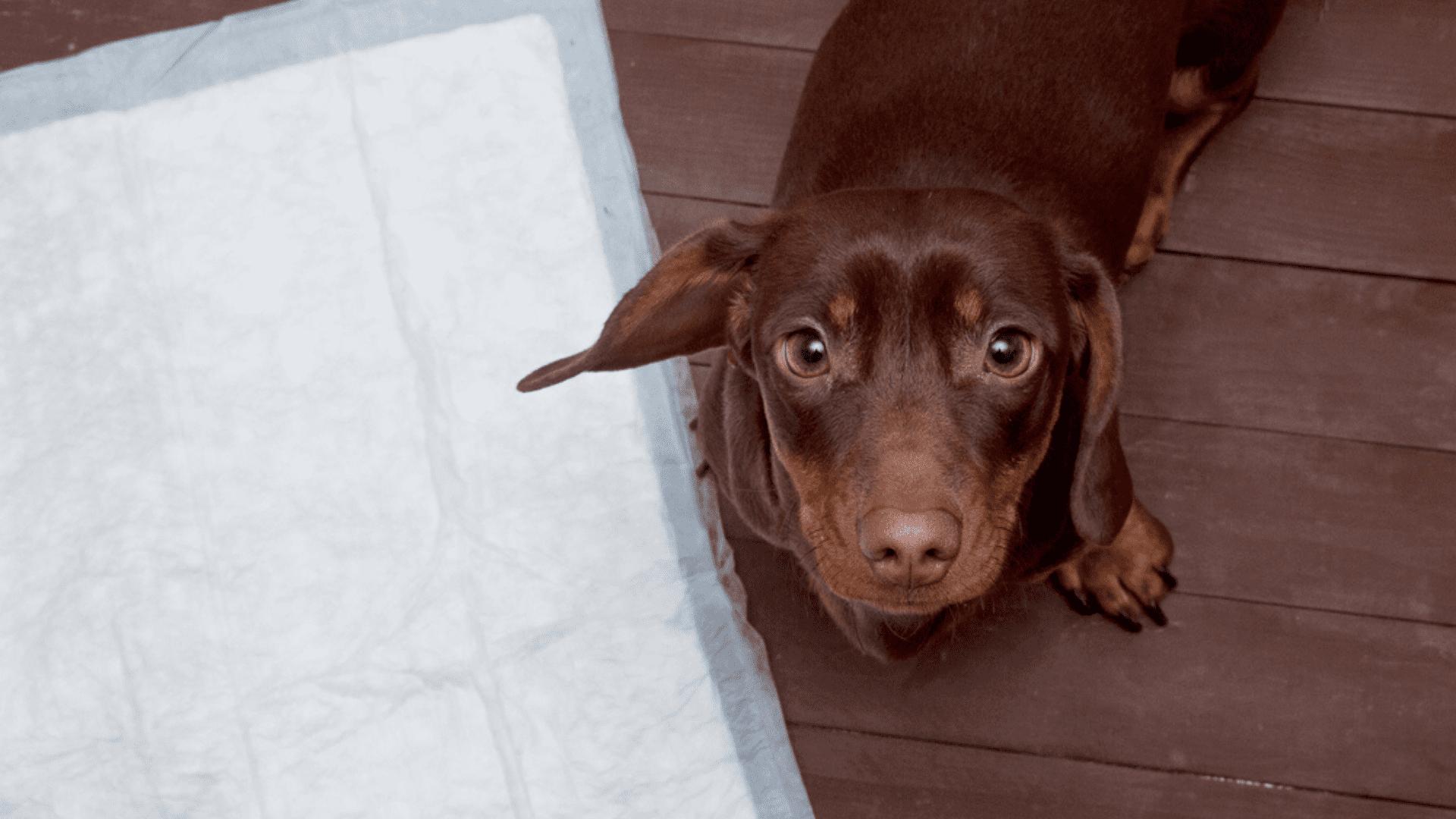 Filhotes e adultos conseguem aprender a usar tapete higiênico para cachorro (Reprodução/Shutterstock)