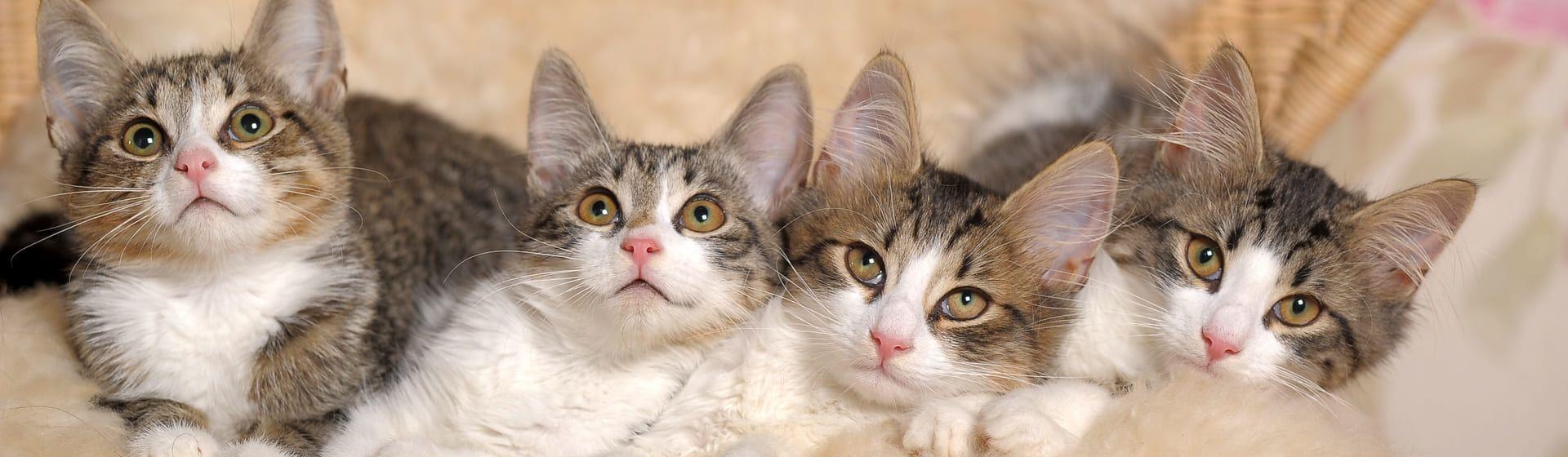 Enxoval para gato: o que é preciso para ter um gato?