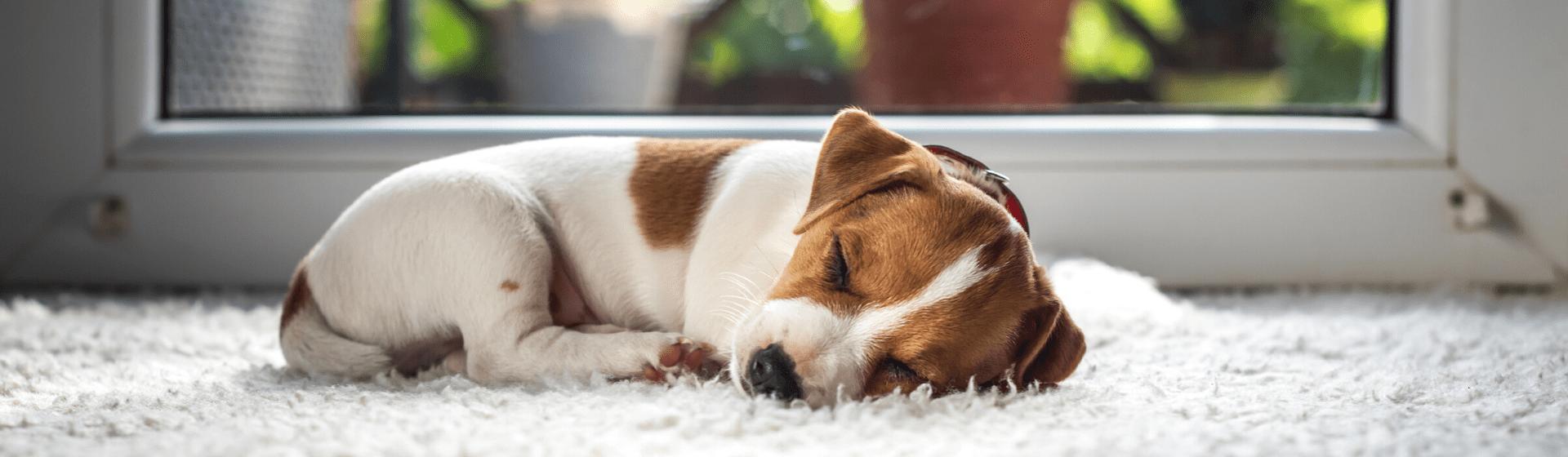 Cachorros pequenos para apartamentos: 10 raças de pequeno porte