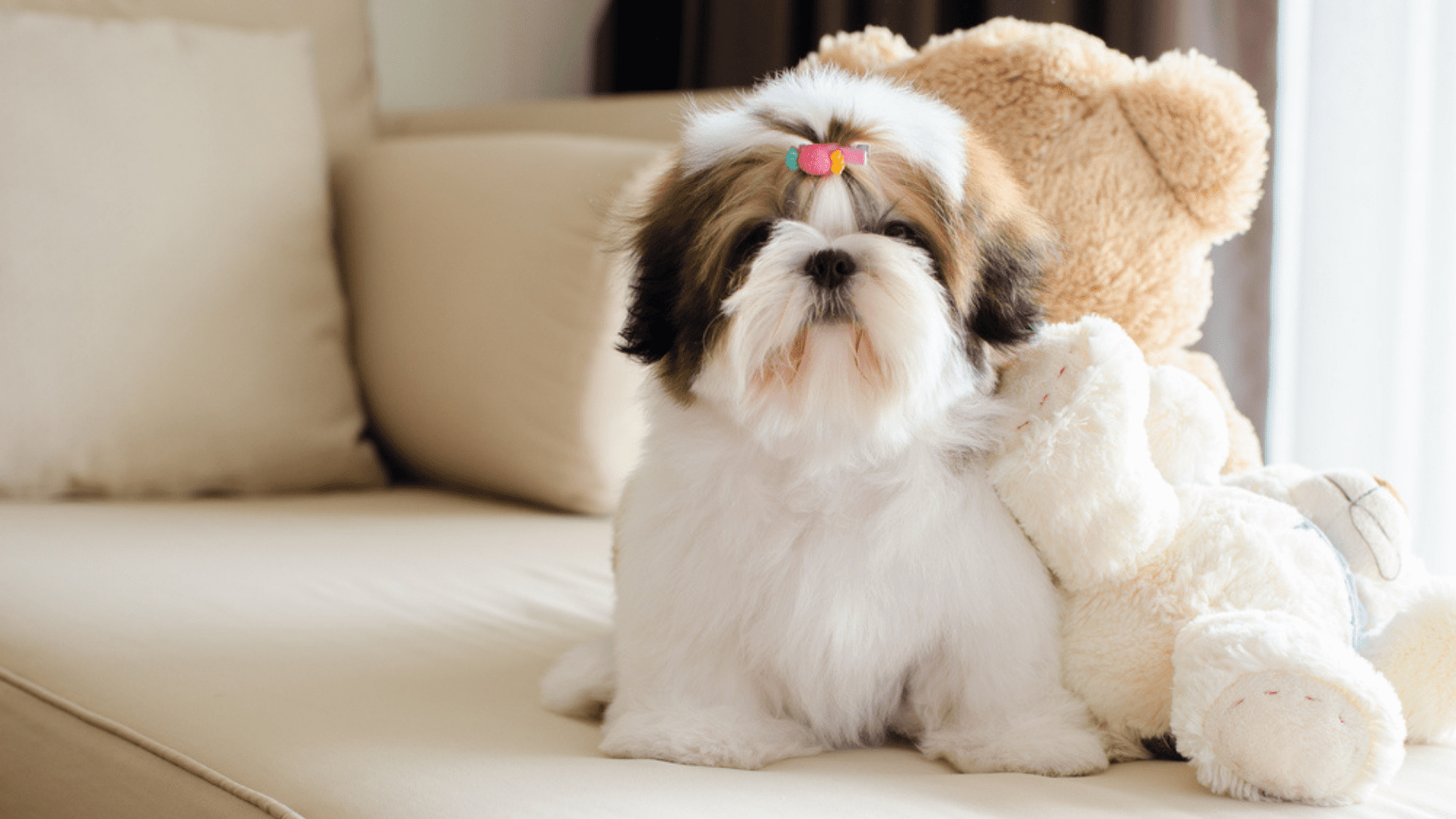 Shih Tzu (Imagem: Reprodução/Shutterstock)