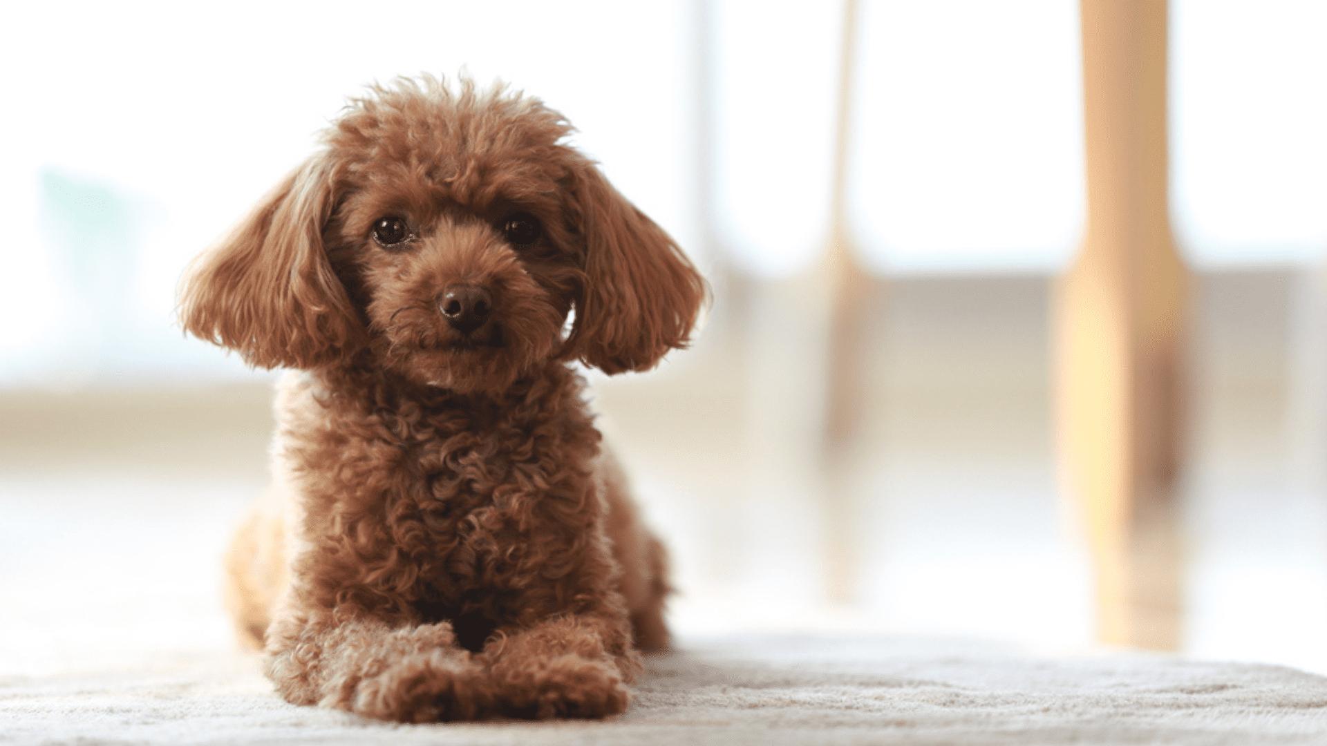 Poodle Miniatura (Imagem: Reprodução/Shutterstock)