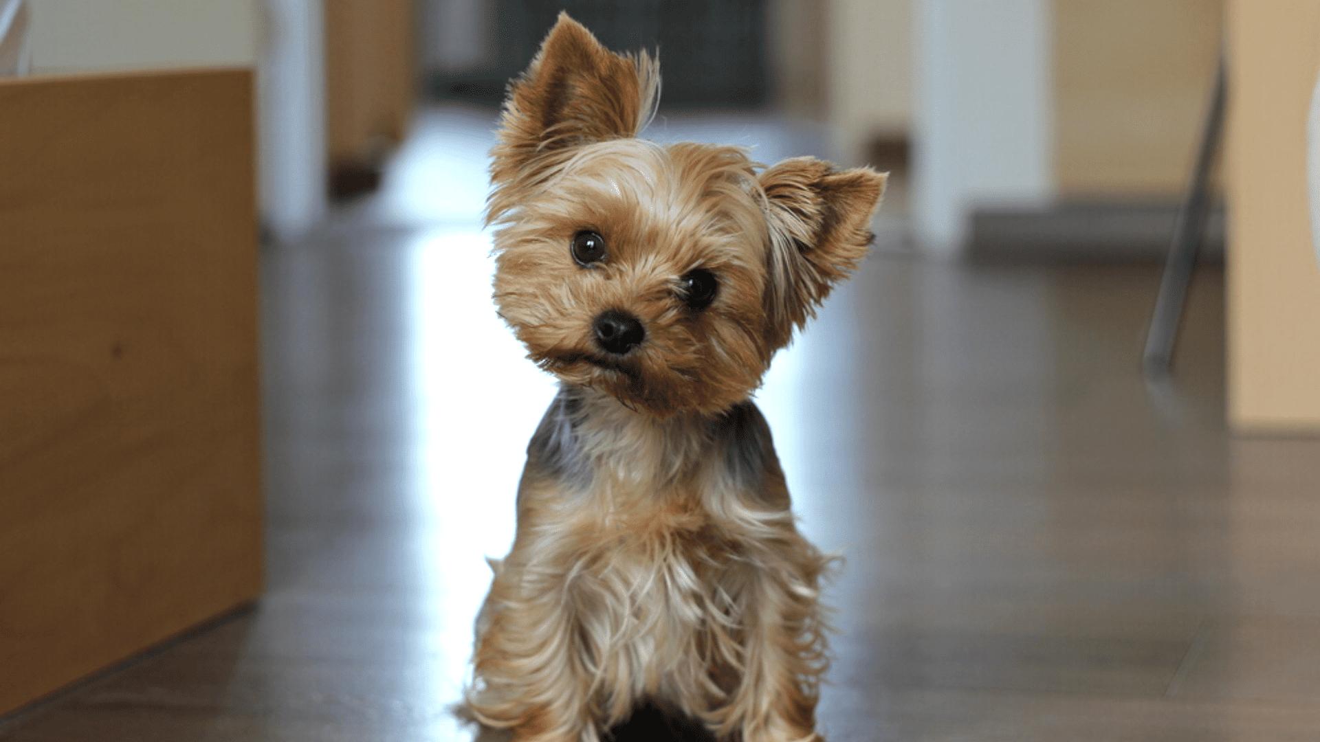 Yorkshire Terrier (Imagem: Reprodução/Shutterstock)