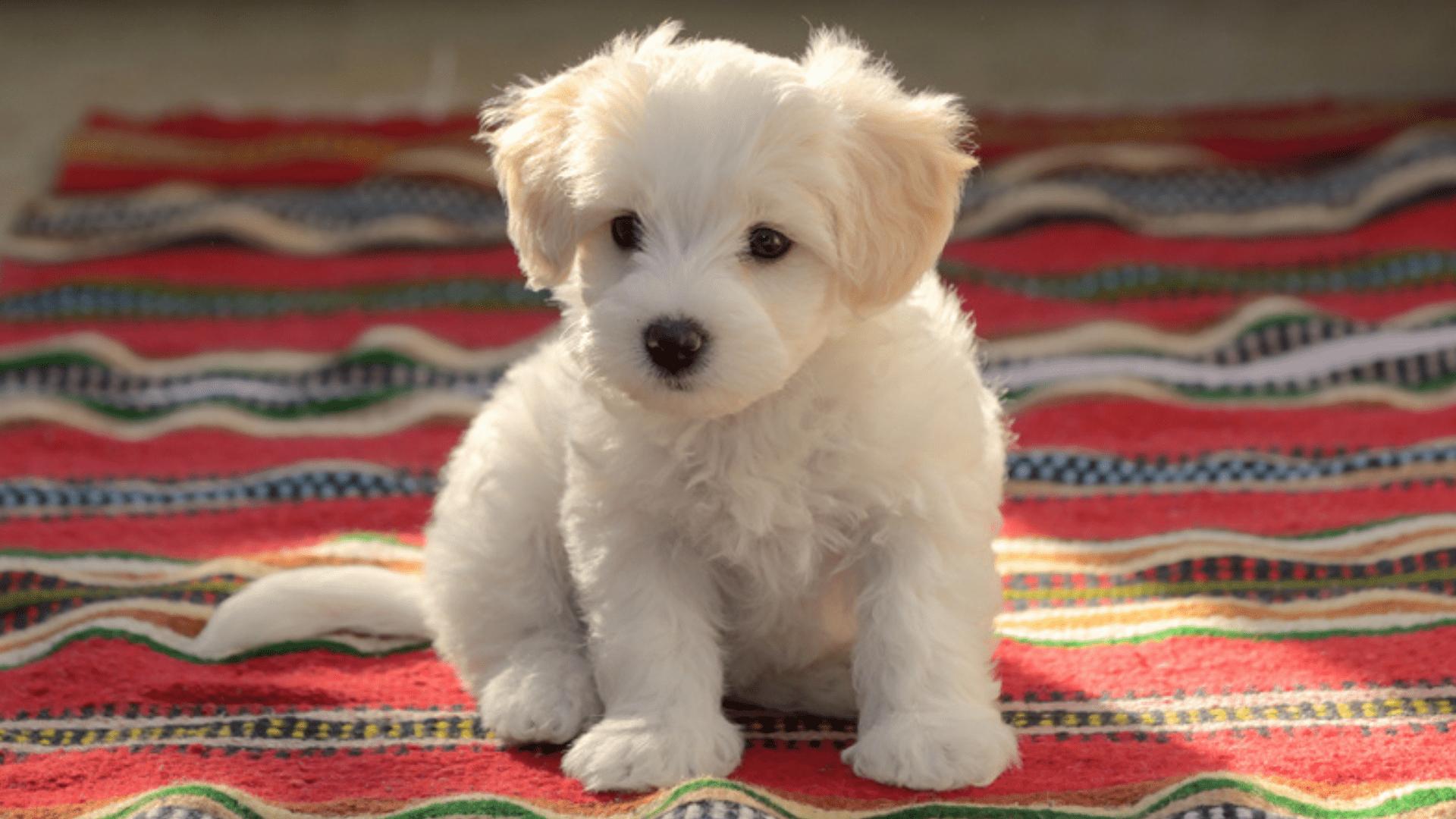 Maltês (Imagem: Reprodução/Shutterstock)
