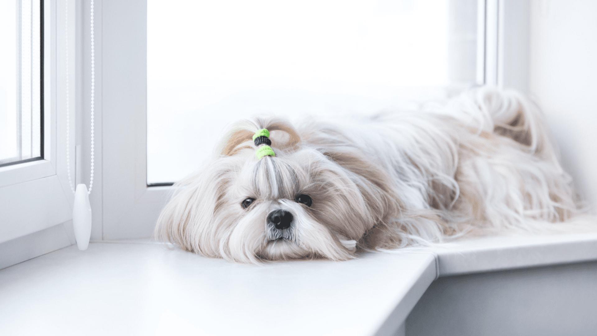 Veja 8 raças de cachorro pequeno peludo para ter em casa! (Imagem: Reprodução/Shutterstock)