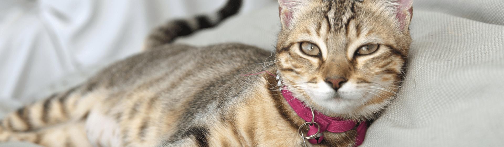 Coleira para gato: veja os principais modelos e entenda para que servem