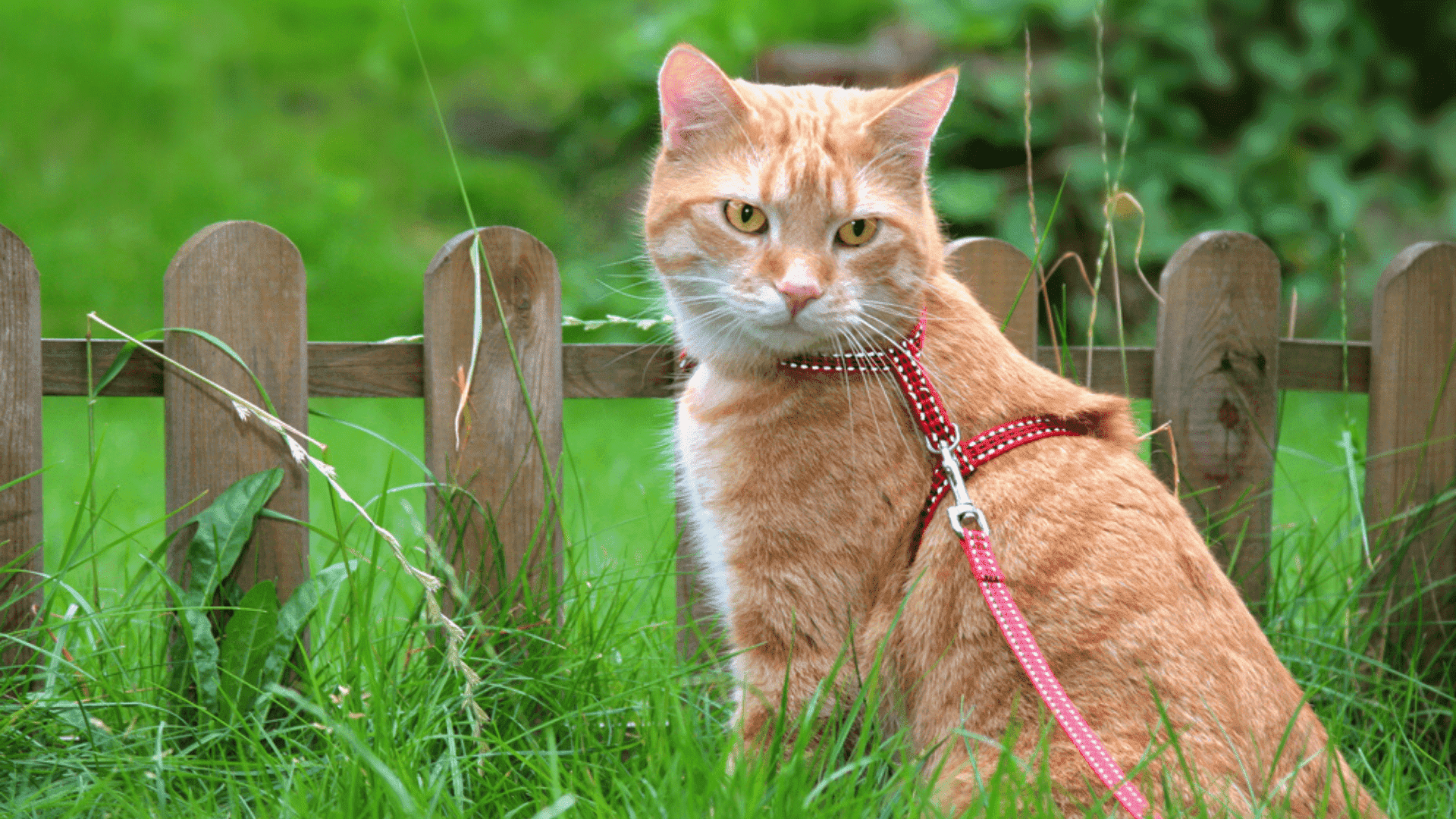 Coleira peitoral para gato (Imagem: Reprodução/Shutterstock)