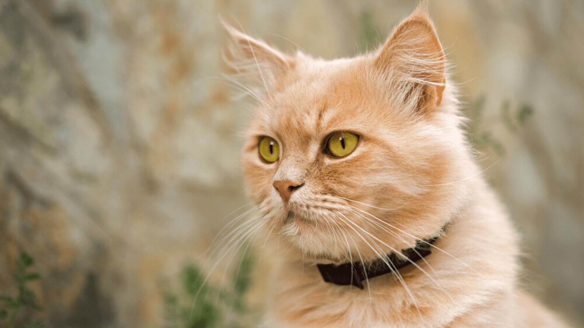 Coleira para gato tradicional (Imagem: Reprodução/Shutterstock)