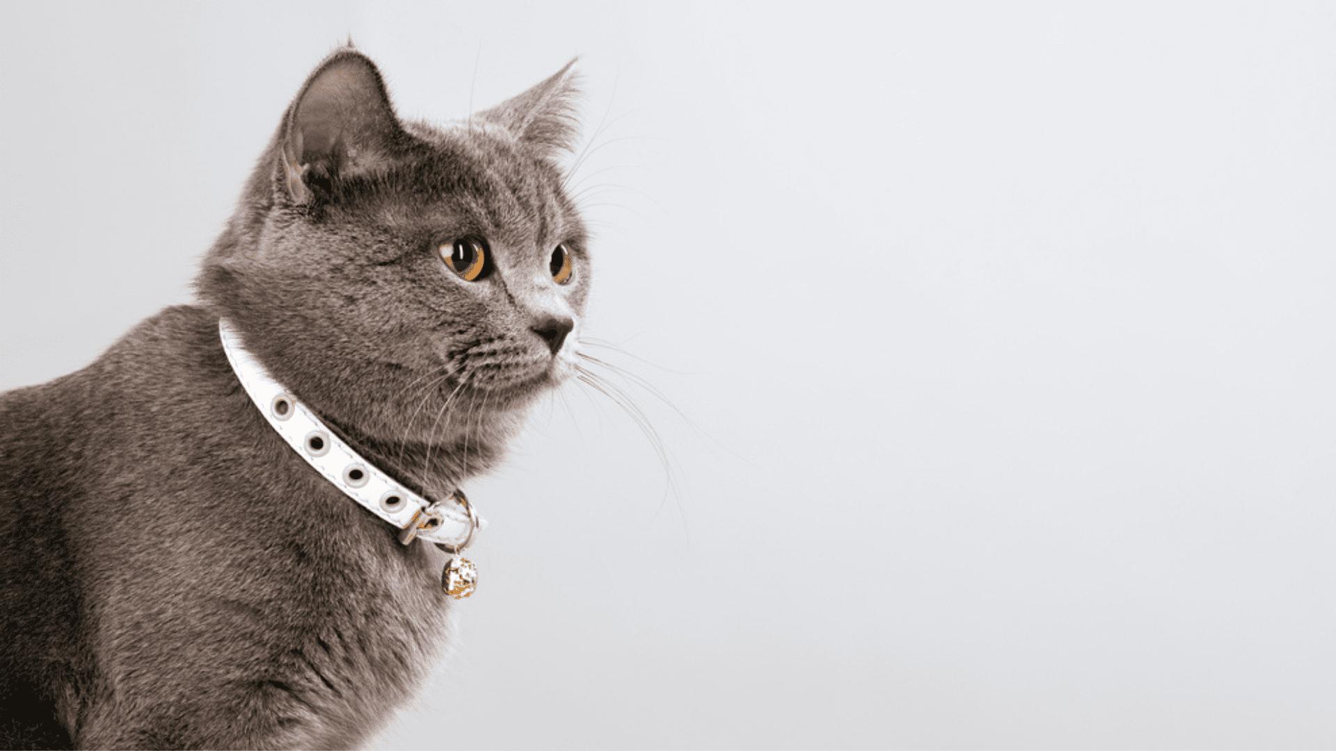 Veja qual a melhor coleira para gato e entenda para que serve cada modelo! (Imagem: Reprodução/Shutterstock)