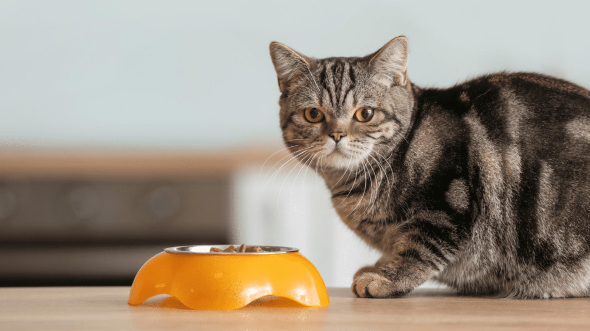 Veja a nossa seleção das melhores rações para gato castrado de 2021! (Imagem: Reprodução/Shutterstock)