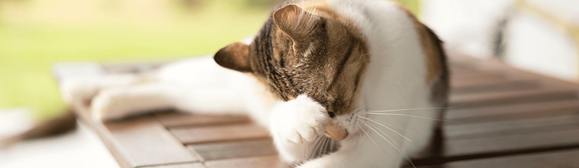 Pulgas de gato: como tirar pulgas de gato?