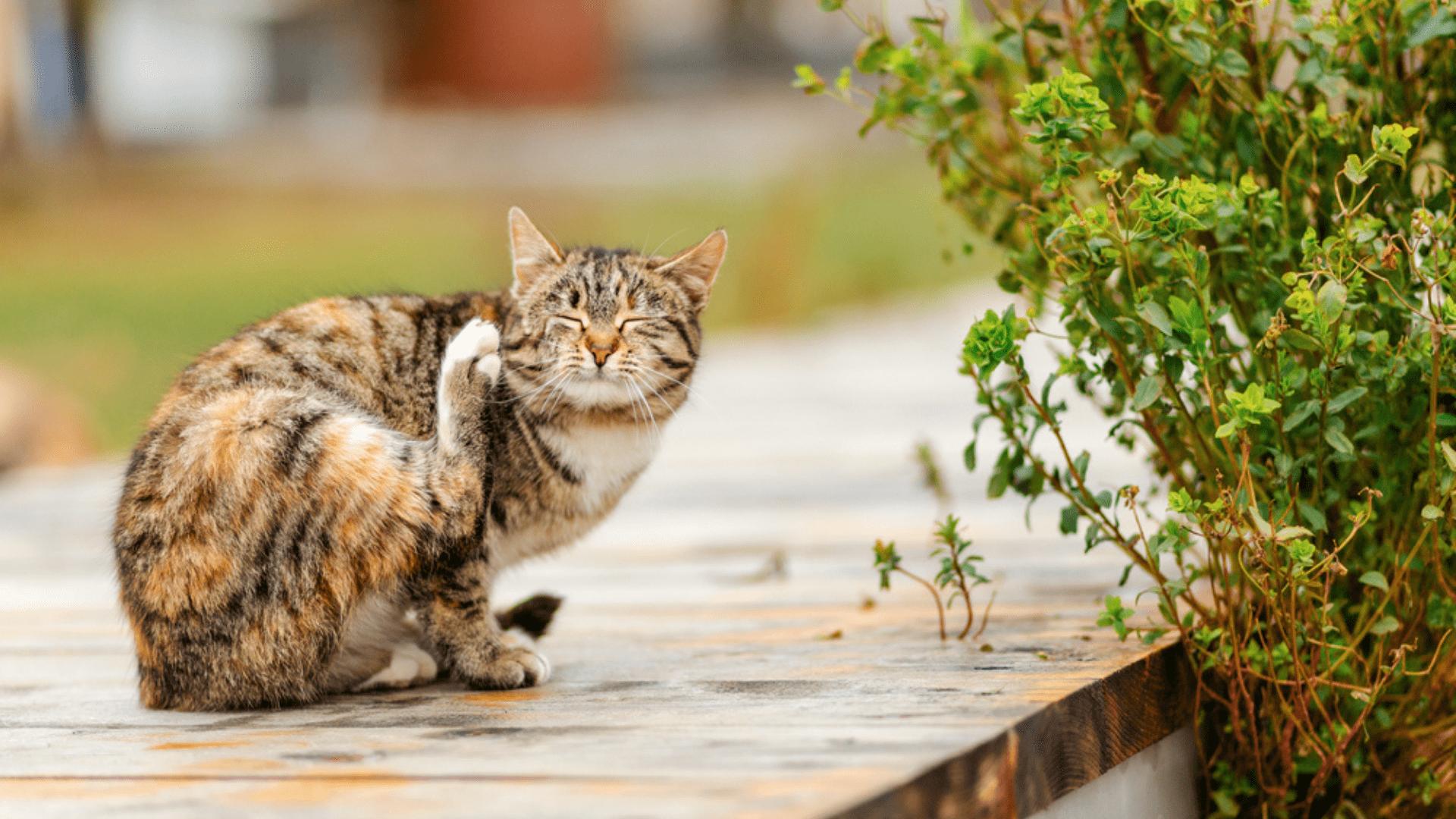 Confira como tirar as pulgas de gato (Imagem: Reprodução/Shutterstock)