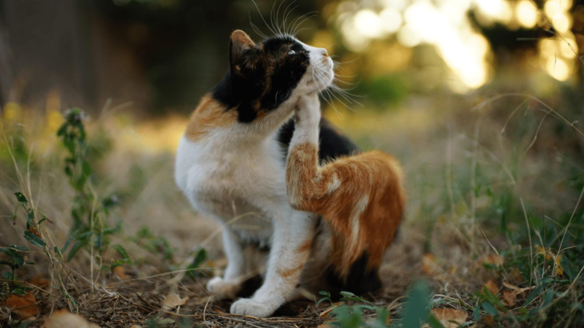 Veja como surgem as pulgas de gato (Imagem: Reprodução/Shutterstock)