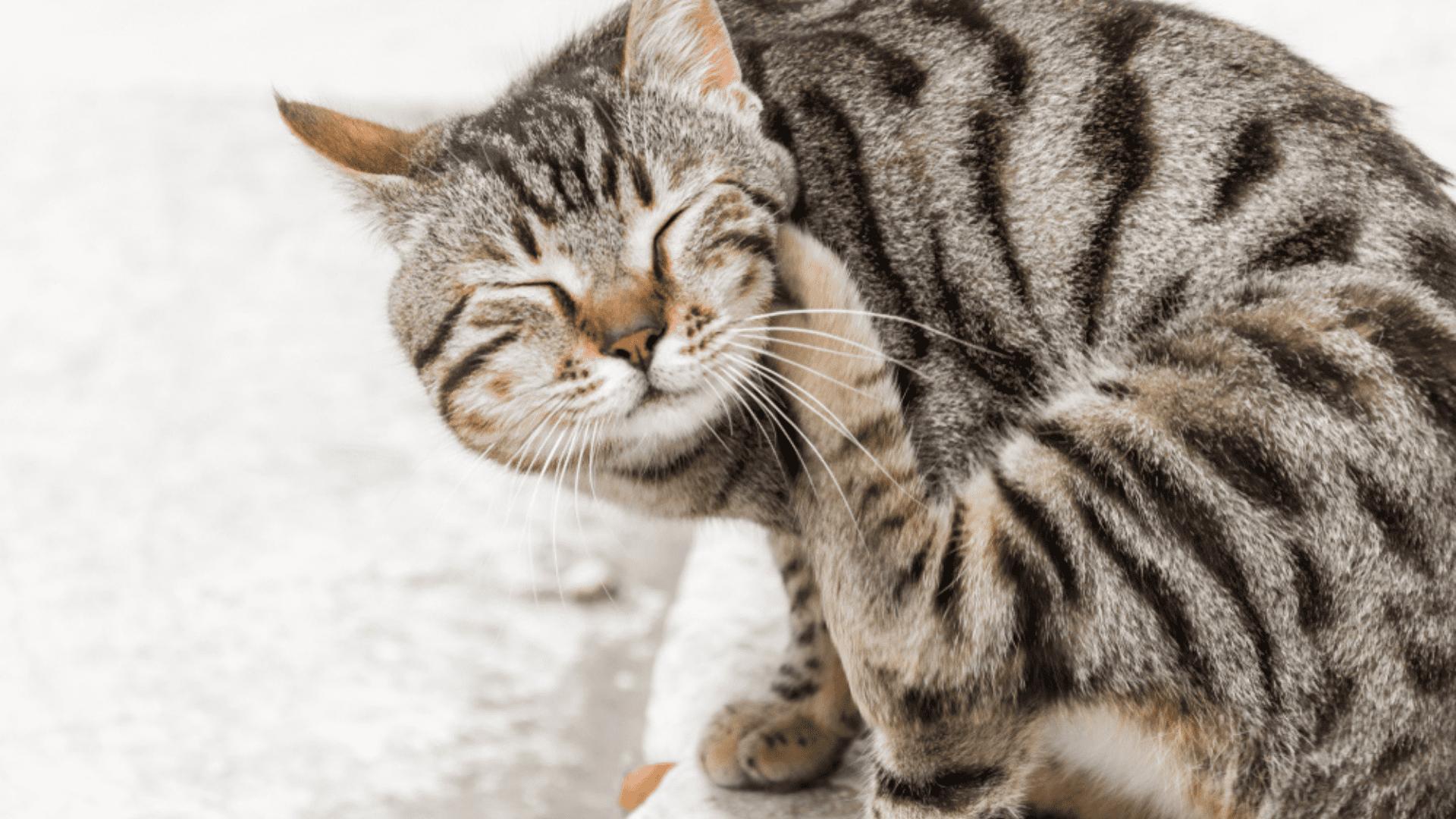 Entenda como tirar pulgas de gato! (Imagem: Reprodução/Shutterstock)