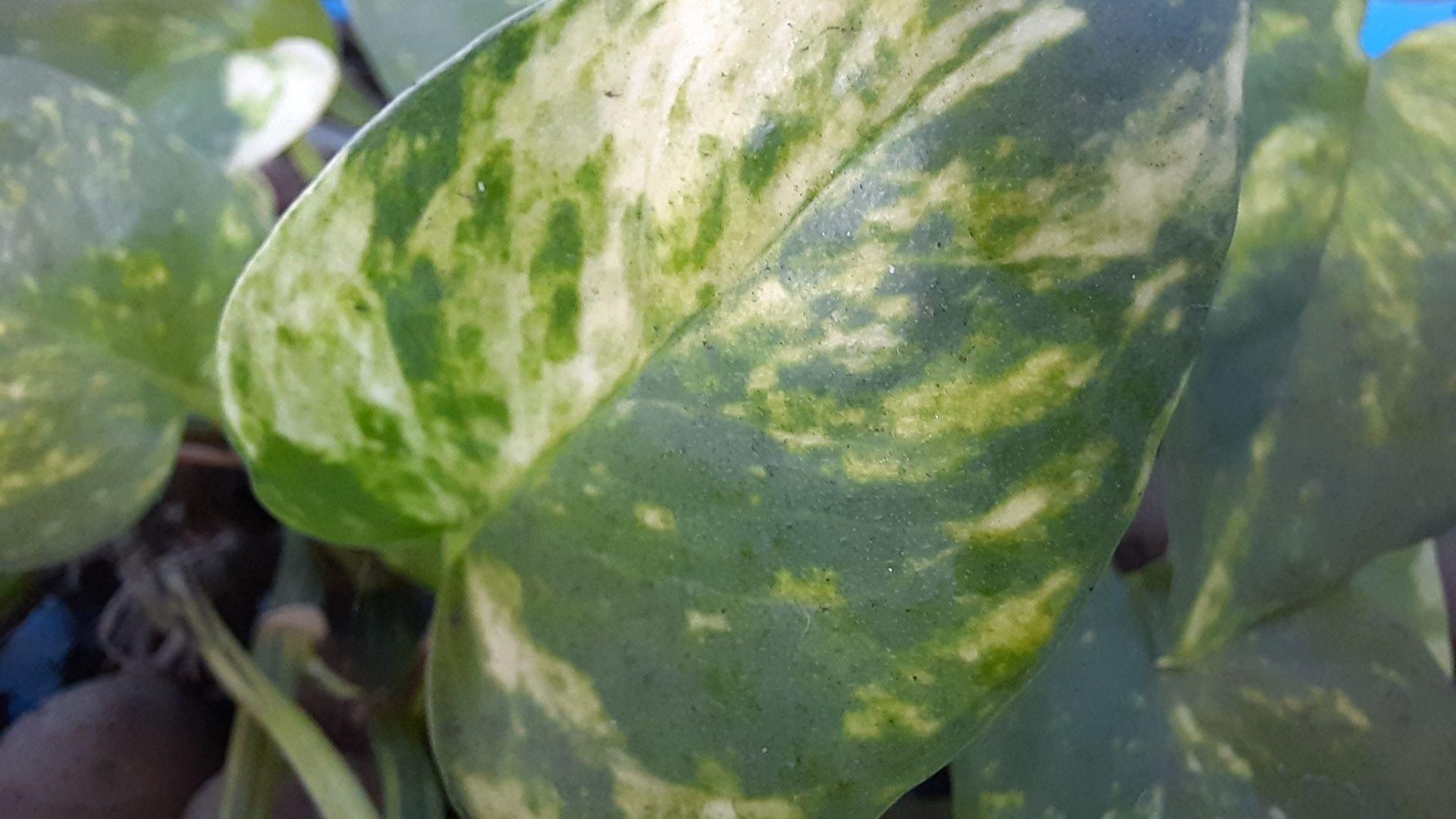 Detalhe da folha de uma planta em formato de coração e tons de verde claro e escuro